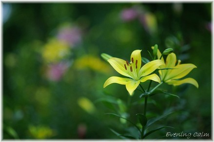Lily_2009036