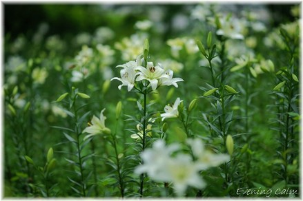 Lily_2009032