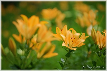 Lily_2009052