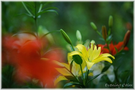 Lily_2009027