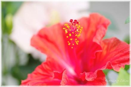 Hibiscus_2009001