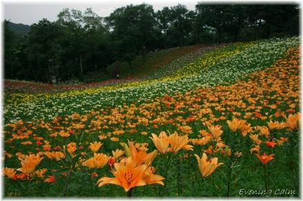 Lily_2009001