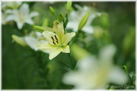 Lily_2009028