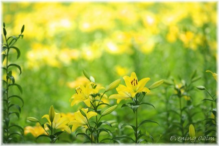 Lily_2009057