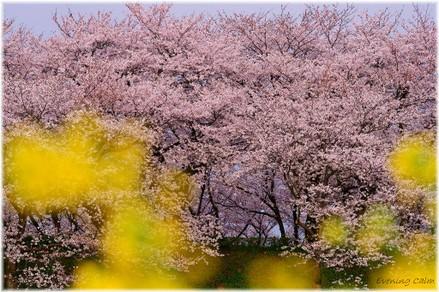 Sakura_2011001_2