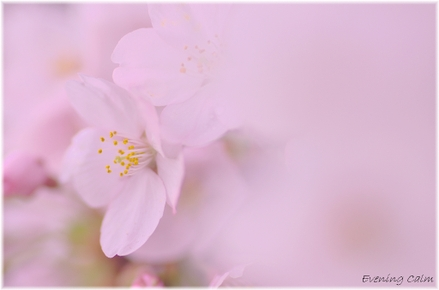 Sakura_2011008