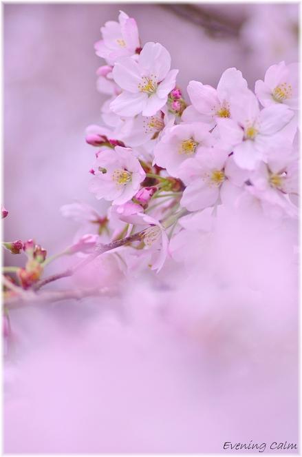 Sakura_2011010