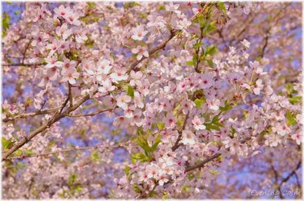 Sakura_2011019