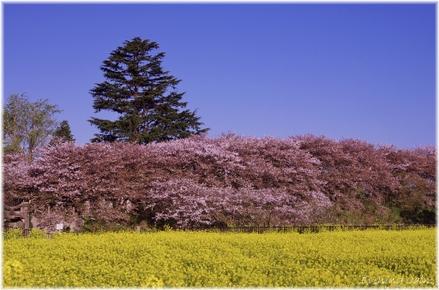 Sakura_2011020