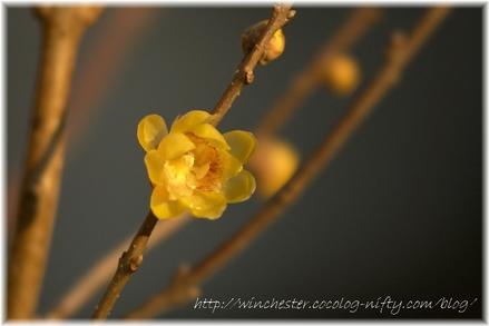 Chimonanthus_praecox_f_concolor