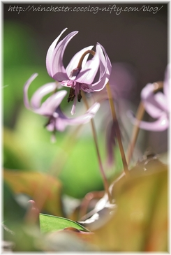 Erythronium_japonicum_2007002
