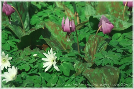 Erythronium_japonicum_2007010