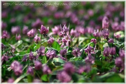 Erythronium_japonicum_2007012