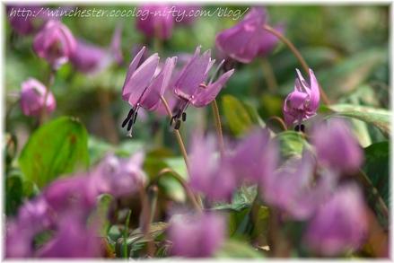 Erythronium_japonicum_2007014