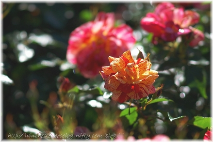 Keisei_rose_garden_2007001