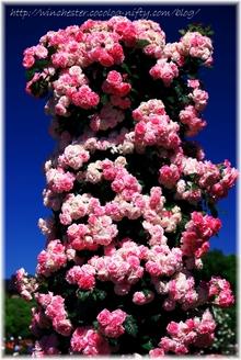 Keisei_rose_garden_2007002