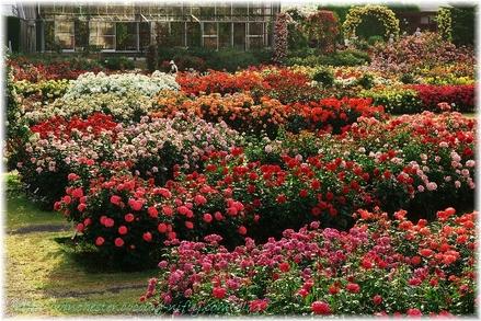 Keisei_rose_garden_2007005