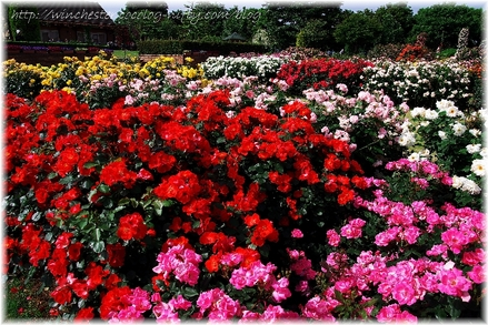 Keisei_rose_garden_2007008_1
