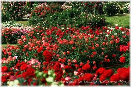 Keisei_rose_garden_2007011