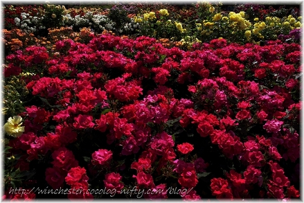 Keisei_rose_garden_2007012