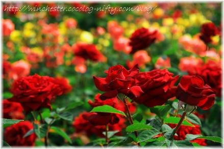 Keisei_rose_garden_2007013_1