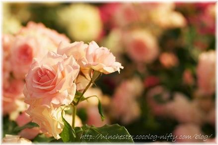 Keisei_rose_garden_2007014