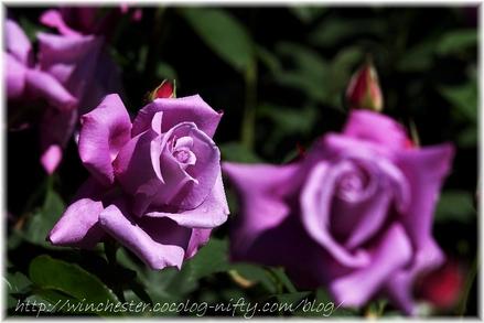 Kesei_rose_garden_2007004