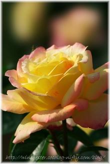 Kesei_rose_garden_2007005