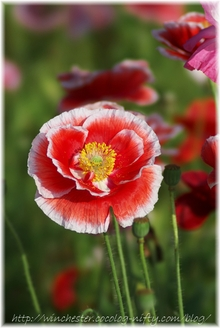 Poppy_002