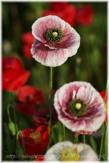 Poppy_004