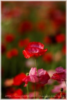 Poppy_005