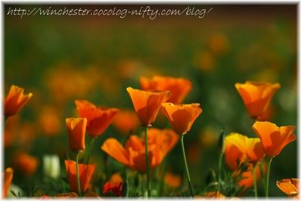 Poppy_007