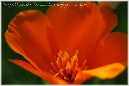Poppy_008
