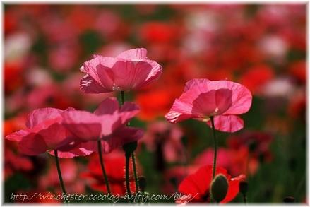 Poppy_009