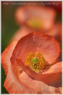 Poppy_013