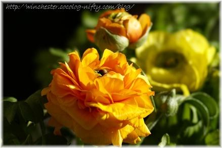 Ranunculus_2007001_1