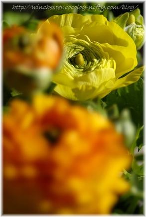 Ranunculus_2007002