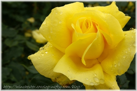 Rose_20061119