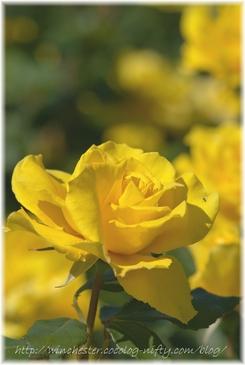 Rose_2007003