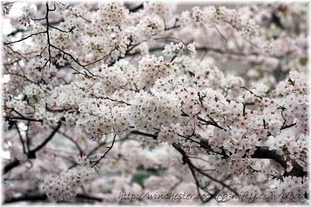 Sakura_2007001