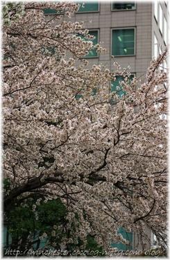Sakura_2007002