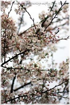 Sakura_2007003