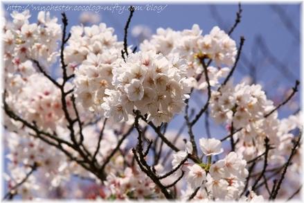 Sakura_2007008