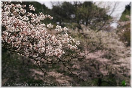 Sakura_2007009_1
