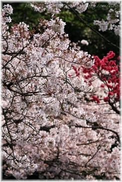 Sakura_2007010