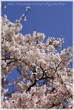 Sakura_2007011