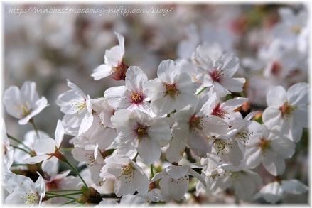 Sakura_2007012