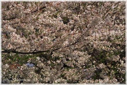 Sakura_2007013