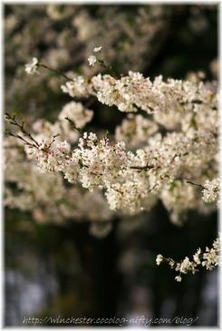 Sakura_2007014